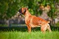 German boxer dog portrait red Stock Images