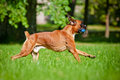 German boxer dog running with a toy red outdoors Royalty Free Stock Image