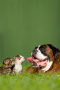 German boxer dog with two little kittens lying in meadow Royalty Free Stock Photography