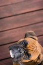 German boxer looking to camera Royalty Free Stock Photo