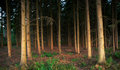 German dark and deep forest view into a at dusk time Royalty Free Stock Photo