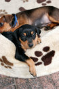 German pinscher puppy Royalty Free Stock Photos