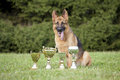 German Sheepdog with cups Royalty Free Stock Photo