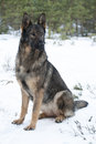 German sheepdog sitting snow Royalty Free Stock Images