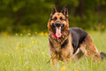 German shepard named ambra in grass Stock Images