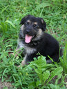 German Shepard puppy Royalty Free Stock Photos