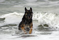 German sheperd coming out of the ocean Royalty Free Stock Images