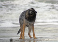 German sheperd after swimming in the ocean Stock Photo