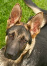 German shephard dog Royalty Free Stock Photography