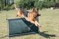 German Shepherd on agility competition, over the bar jump.