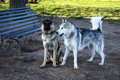 German shepherd and alaskan malamute dogs stood by a bench in a park Stock Photography
