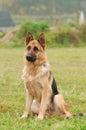 Alemán perro