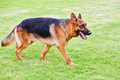 German shepherd dog 5 Royalty Free Stock Images