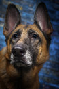 German shepherd dog blue background a female looks interested in something Stock Photography