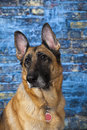 German shepherd dog blue background female looks left Stock Photography