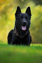 German Shepherd Dog, is a breed of large-sized working dog that originated in Germany, sitting in the green grass with nature back Royalty Free Stock Photo