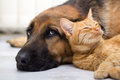German shepherd dog and cat together close up lying on the floor Stock Image