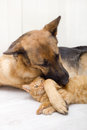 German shepherd dog and cat together lying on the floor Stock Photos