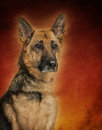 German shepherd dog on colored background Stock Images