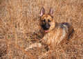 German shepherd dog in field alert pure bred watching an outdoor virginia Royalty Free Stock Image