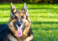 German Shepherd dog in the garden Royalty Free Stock Photos