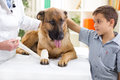 German shepherd dog getting bandage after injury on his leg by a boy caressing him Royalty Free Stock Photos