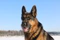 German Shepherd Dog Is Guardin...
