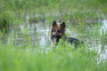 German shepherd dog in lake water Royalty Free Stock Photo