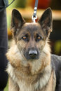 German shepherd dog long haired portrait Stock Image