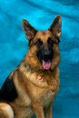 German Shepherd Dog Looking At Viewer Stock Images
