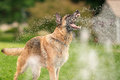 German Shepherd Dog Outside Playing In Water Royalty Free Stock Photo