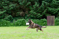German shepherd dog playing with a ball Royalty Free Stock Photos