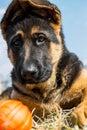 German shepherd dog playing with ball Royalty Free Stock Photo