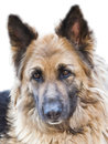 German Shepherd dog portrait, expression, Royalty Free Stock Photos