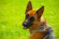 German shepherd dog portrait of on green meadow looking over shoulder Royalty Free Stock Photo