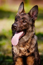 German shepherd dog portrait outdoors summer Stock Images
