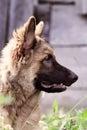 German Shepherd Dog Profile Royalty Free Stock Photo