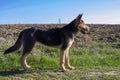 German Shepherd dog in profile Royalty Free Stock Photo