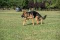 German Shepherd Dog Running Through the Grass
