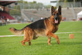 German shepherd dog running on stadium Royalty Free Stock Photography