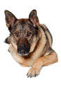 German shepherd dog on white background is resting a Stock Image