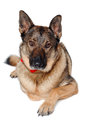 German shepherd dog on white background is resting a Stock Photos