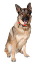 German shepherd dog on white background is sitting a Royalty Free Stock Images