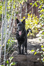 German Shepherd Dog in Yard Royalty Free Stock Photo