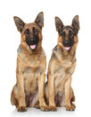 German shepherd dogs portrait on a white background Royalty Free Stock Image