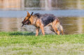 German Shepherd fetching stick Royalty Free Stock Photo
