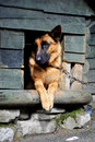 German shepherd in its kennel resting wooden Royalty Free Stock Image