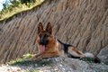 German shepherd look closely at what happens Royalty Free Stock Images