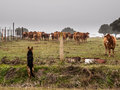 German shepherd looking after cows erman tending in a paddock Stock Images