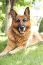 German shepherd lying on the grass beautiful adult in garden Royalty Free Stock Photography